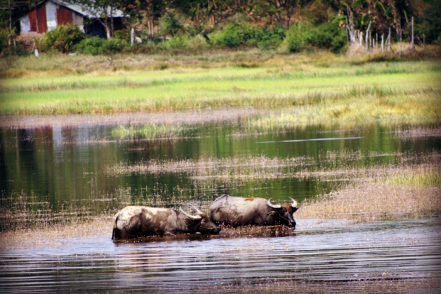 Water oxens