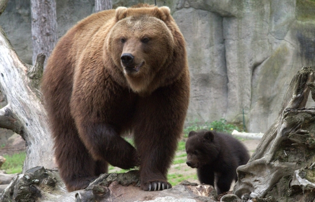 kamchatka_bear