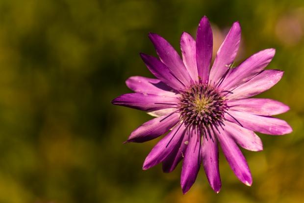 Lila Wildflower