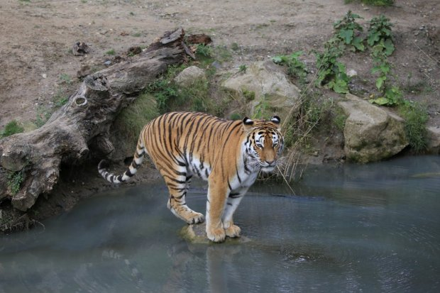 12_tiger_org_1200pxt