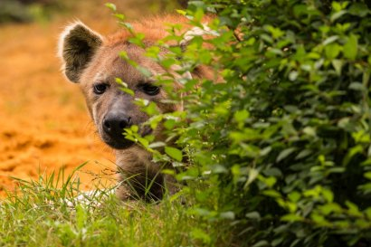 A hyena in the zoo of Gelsenkirchen