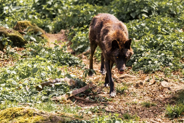 Timberwolf 1