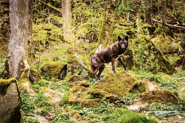 Timberwolf 4
