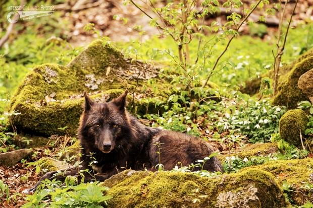 Timberwolf 5